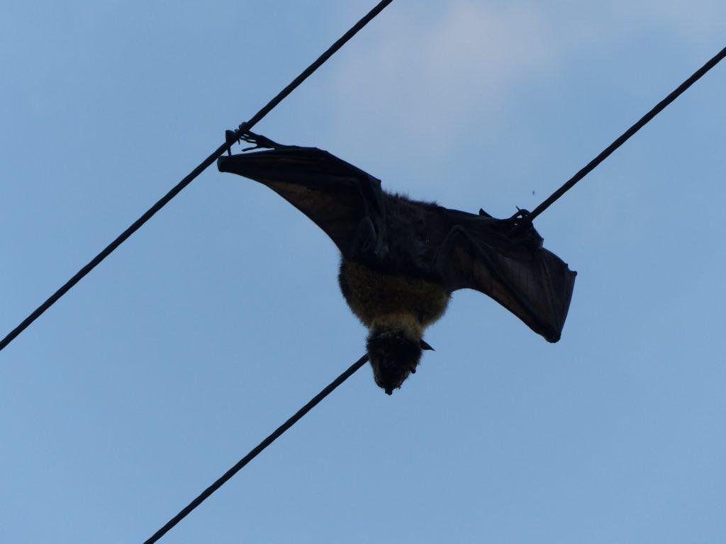 australia-murcielago-electrificado