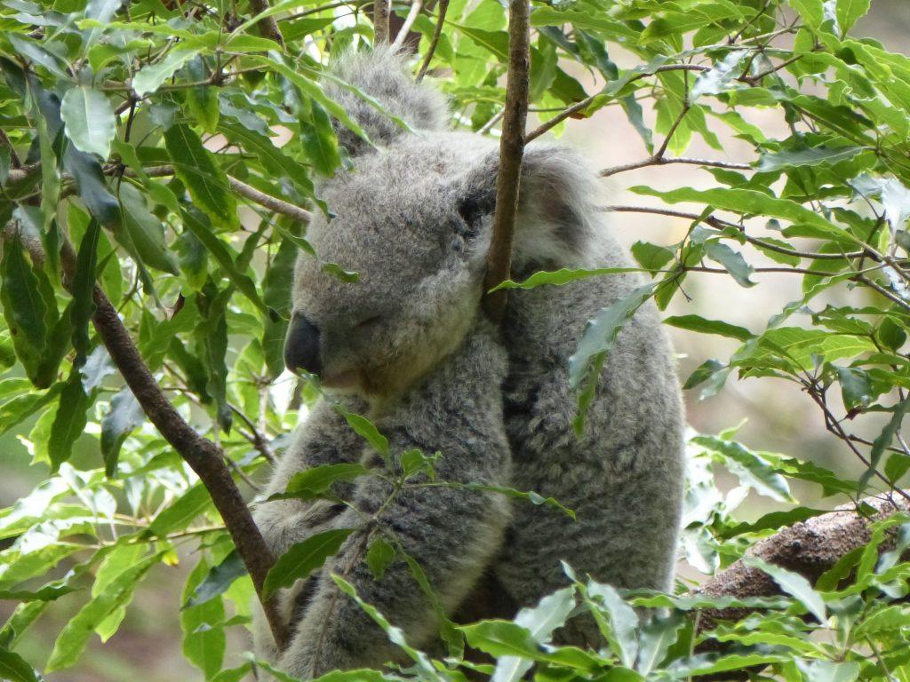 koala-durmiendo-arbol