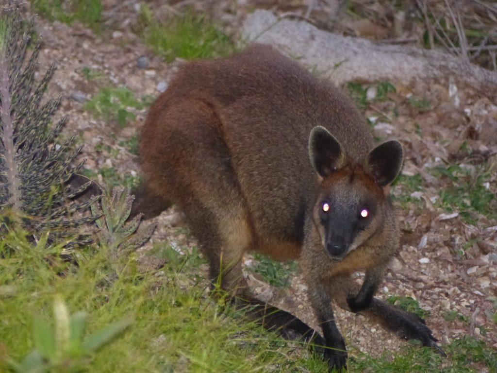 wallaby-terror